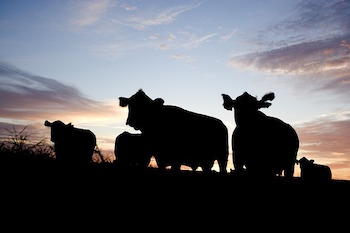 cattle-sunset.jpg