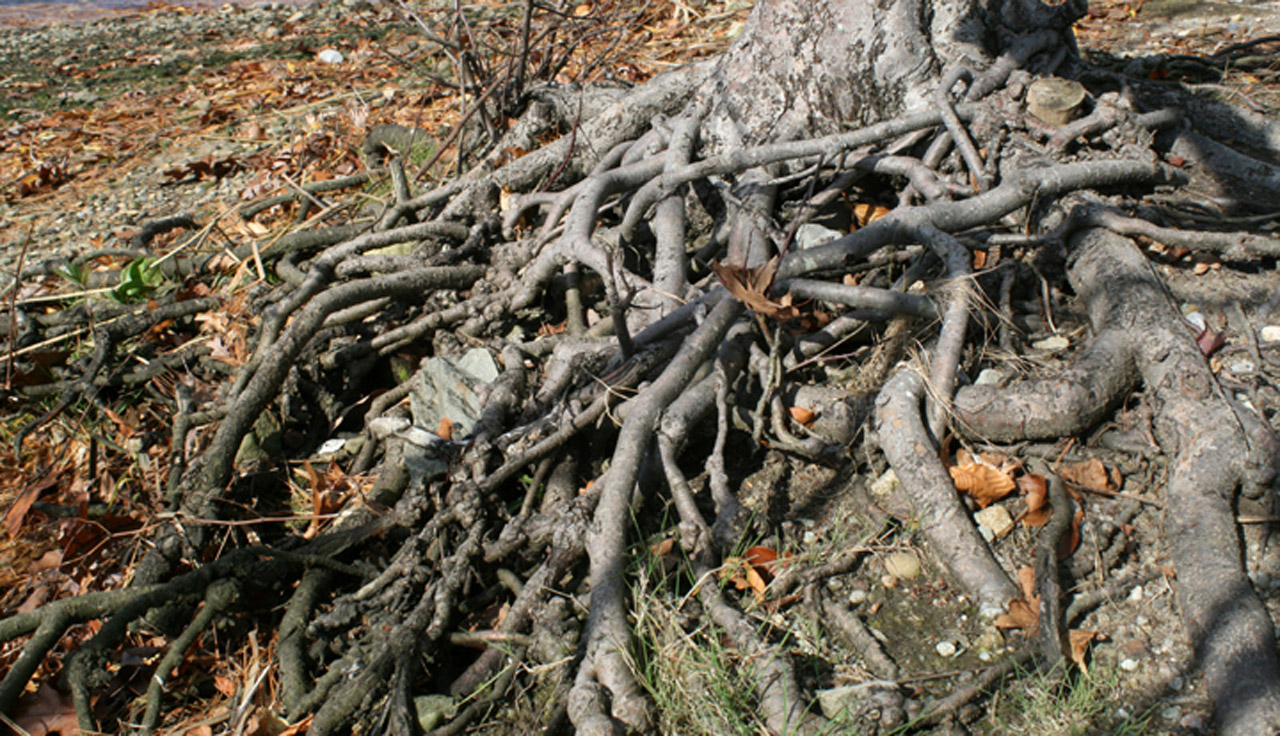 public domain image of tree roots